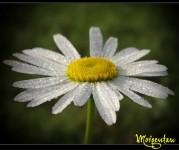 Dewy Daisy