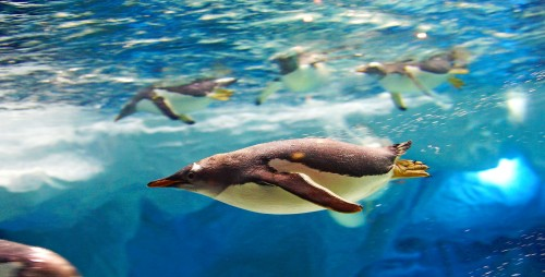 Diving Penguin Jigsaw Puzzle