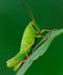 Dotted Grasshopper