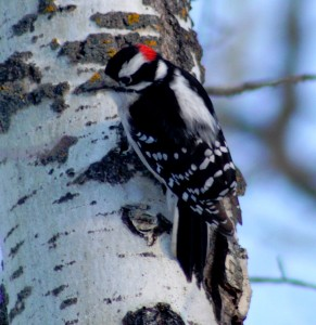 Downy Woodpecker Jigsaw Puzzle