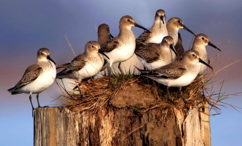 Dunlins Jigsaw Puzzle