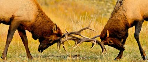 Elk Battle Jigsaw Puzzle
