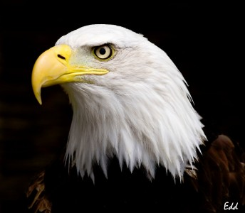 Eye of the Eagle Jigsaw Puzzle