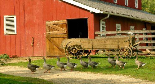 Farm Geese Jigsaw Puzzle