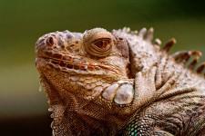 Fearsome Iguana