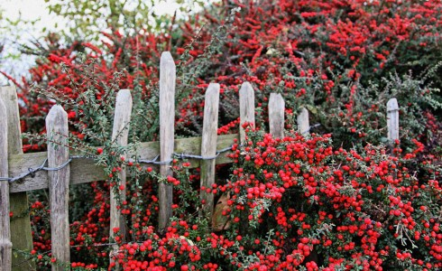 Fence with Berries Jigsaw Puzzle