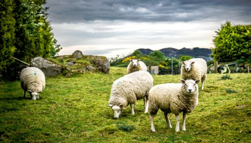 Five Sheep Jigsaw Puzzle