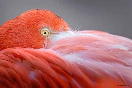 Flamingo Close-up Jigsaw Puzzle