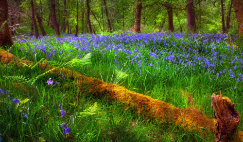 Forest Bluebells Jigsaw Puzzle