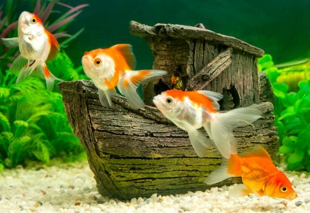 Four Goldfish Jigsaw Puzzle