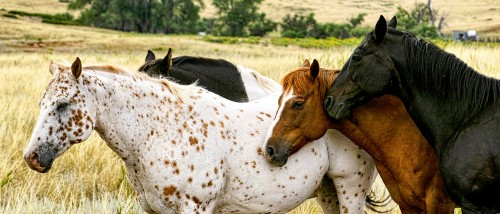 Four Horses Jigsaw Puzzle