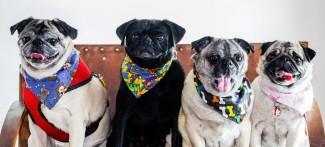 Four Pugs