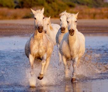 Four White Horses Jigsaw Puzzle