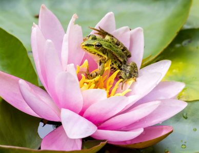 Frog and Lotus Jigsaw Puzzle