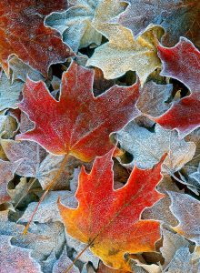 Frosty Leaves Jigsaw Puzzle
