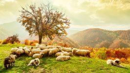 Gathered Sheep