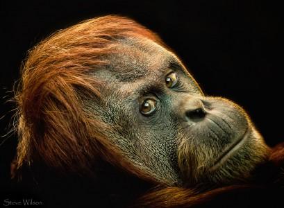 Gazing Orangutan Jigsaw Puzzle