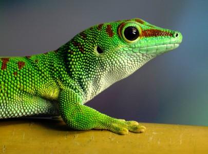 Gecko Profile Jigsaw Puzzle