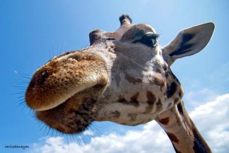 Giraffe Close-Up Jigsaw Puzzle