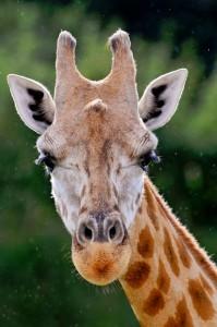 Giraffe Face Jigsaw Puzzle