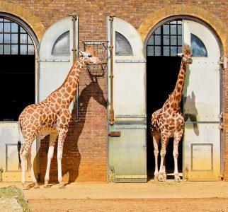 Giraffe Stables Jigsaw Puzzle