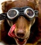 Goggled Dog