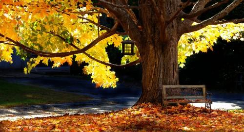 Golden Maple Jigsaw Puzzle