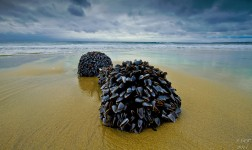 Goose Neck Barnacles