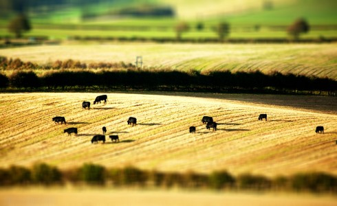 Grazing Cattle Jigsaw Puzzle