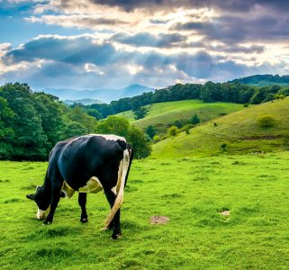 Grazing Cow Jigsaw Puzzle