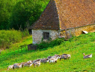 Grazing Geese Jigsaw Puzzle