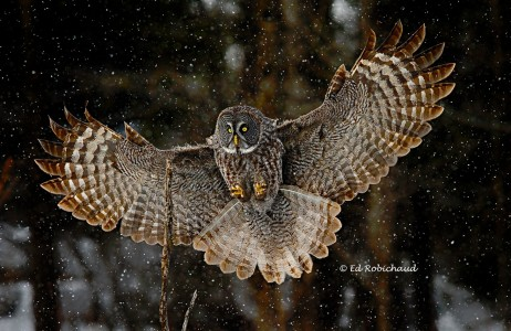 Great Gray Owl Jigsaw Puzzle