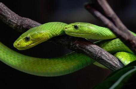 Green Mamba Snake Jigsaw Puzzle