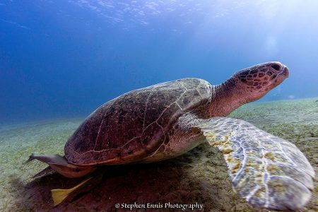Green Sea Turtle Jigsaw Puzzle