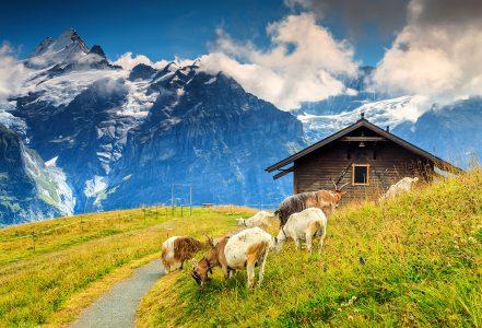 Grindelwald Goats Jigsaw Puzzle