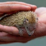 Handheld Hedgehog