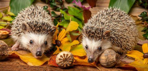 Hedgehog Pair Jigsaw Puzzle