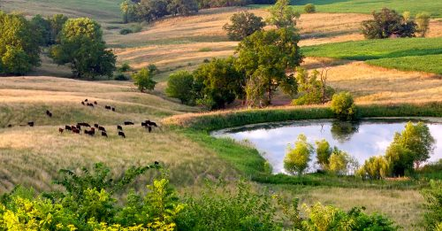 Hills and Cattle Jigsaw Puzzle