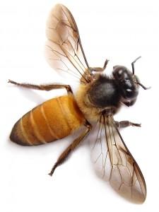 Honeybee Close-up Jigsaw Puzzle
