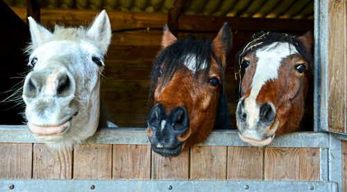 Horse Expressions Jigsaw Puzzle