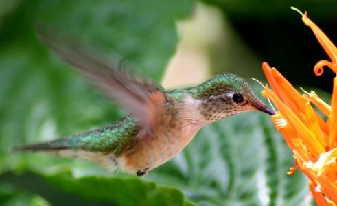 Hummingbird Jigsaw Puzzle