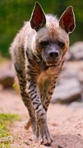 Hyena Jigsaw Puzzle