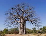 Imbondeiro Tree