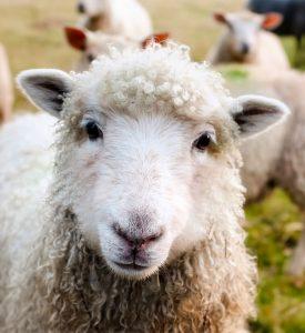 Irish Sheep Jigsaw Puzzle