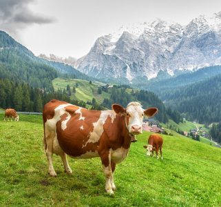 Italian Cow Jigsaw Puzzle