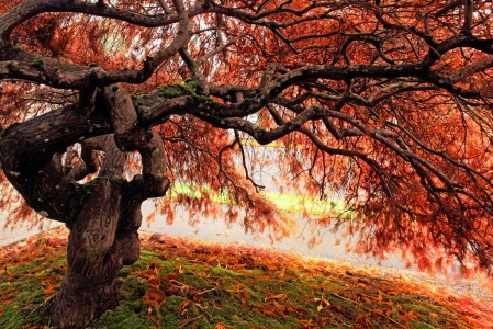 Japanese Maple Tree Jigsaw Puzzle