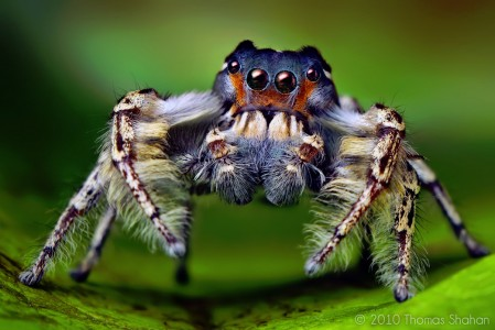 Jumping Spider Jigsaw Puzzle