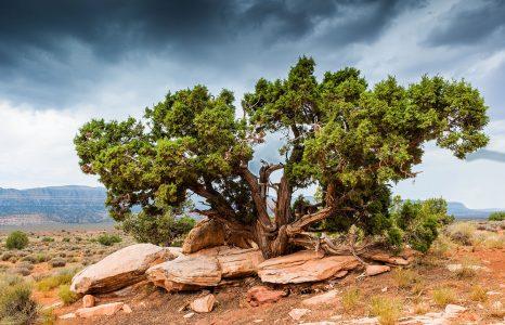 Juniper Tree Jigsaw Puzzle