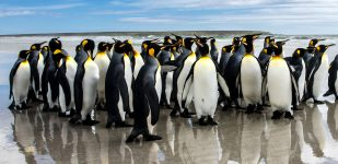 King Penguins Jigsaw Puzzle