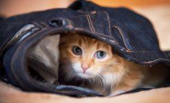 Kitten in Jeans
